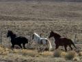 Patagonian horses.