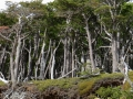 Battered trees. (Torres Del Paine)